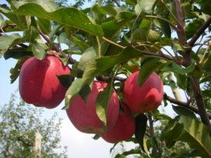 mele di cascina bonetto