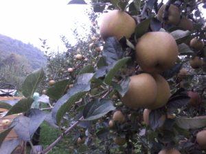 mela renetta grigia cascina bonetto